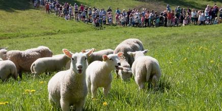 Gör en utflykt i maj. Lammsläpp utanför Laholm. Vårt lammsläpp i maj har blivit ett populär och välsbesökt event. Välkommen på lammsläppet 2017