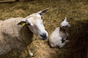Våra får och lamm av rasen Texel