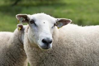 Våra får av rasen Texel. Vi har ca 80 får här på fårfarmen Dönardalen i Våxtorp mellan Vallåsen & Laholm i södra Halland