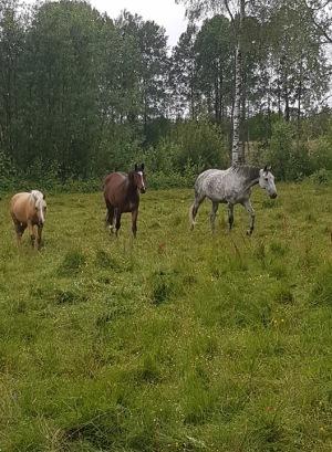 Daydream, Vanessa och Thyra på sitt bete :-)