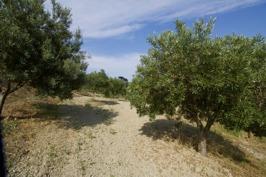 Olivlund