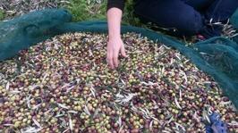 Nyskördade oliver/freshly harvested olives