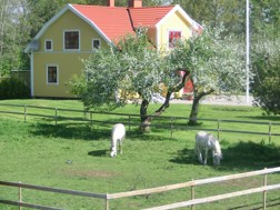 Ponnysarna betar i hagen