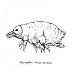 hypogastruriadae
