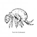 neelidae