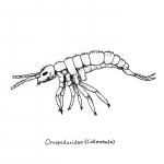 oncopoduridae