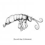 paronellidae