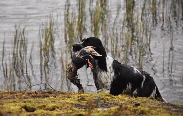Semla på väg upp ur vattnet med fågeln. Duktig tjej!!