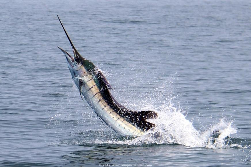 Sailfish fishing kuala rompin malaysia