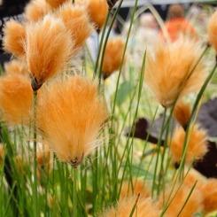 vattenväxt rostull trädgårdsdamm näckros