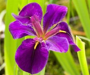 dammväxter vattenväxter iris black gamecock