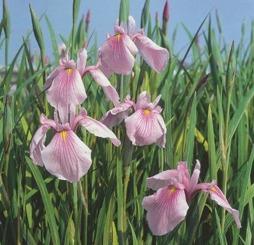 dammväxter vattenväxter iris Rose queen