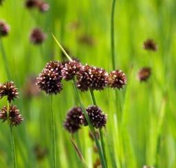 dammväxter vattenväxter svärdtåg trädgårdsdamm