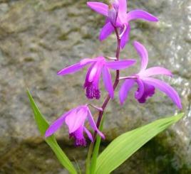 vattenväxter dammväxter mikadoblomma