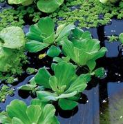 vattenväxter flytande musselblomma