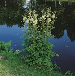 vattenväxt älggräs trädgårdsdamm näckros