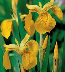 vattenväxter dammväxter iris trädgårdsdamm