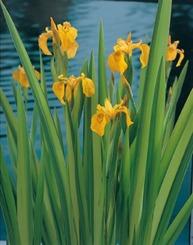 vattenväxt dammväxter strimmig iris trädgårdsdamm