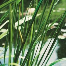 Vattenväter Kalamus trädgårdsdamm