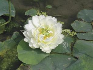 Lotus tropisk näckros vattenväxter dammväxter