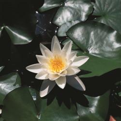 Näckros Pygmea Alba vattenväxter