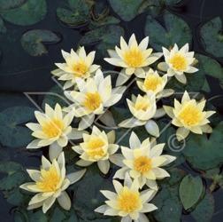 Dvärgnäckros näckros dammväxter vattenväxter