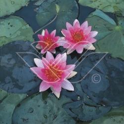 näckros dvärgnäckros dammväxter vattenväxter