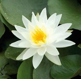 näckros dammväxter vattenväxter stort sortiment