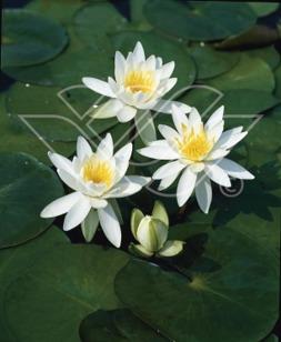 Näckros vit näckros vattenväxter dammväxter stort sortiment
