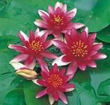näckros dvärgnäckros vattenväxter dammväxter