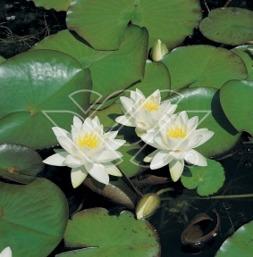näckros tetragona dvärgnäckros dammväxter avttenväxter