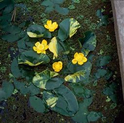 näckros brokig lutea variegata vattenväxt dammväxt vattenrenande