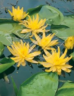 näckros Moorei vattenväxt dammväxter vattenrenande