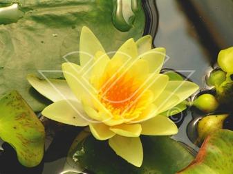 näckrosor vattenväxter dammväxter vattenrenande