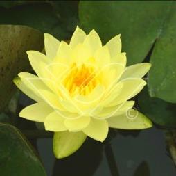 näckros joy Tomoocik gul näckros dammväxter vattenväxter vattenrenande