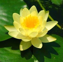 näckros gul Chromatella vattenväxt dammväxter vattenrenande