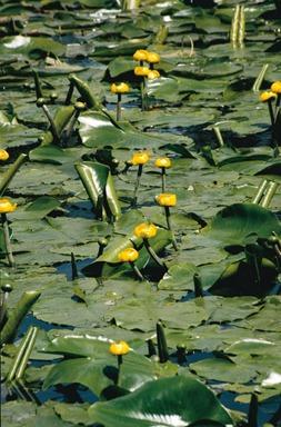 näckros lutea gul näckros dammväxt vattenväxt