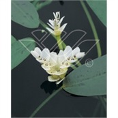 vattenväxt vattenax Aponogeton Distachyos dammväxter vattenrenande