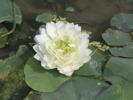 Lotus näckros, sumpväxter, tropiska näckrosor, vattenrenade växter