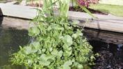 Vattenväxter, flytväxter dammväxter vattenhyasint musselblomma