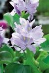 flytväxter, vattenhyasint, dammväxter, vattenväxter