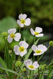 dammväxt flocksvalting vattenväxter supväxter önnestad