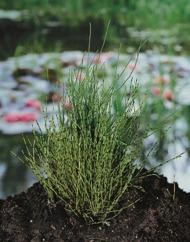 dammväxter trådfräken, vattenväxter, sumpväxter, önnestad