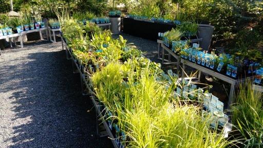 vattenväxter, dammväxter trädgårdsdamm