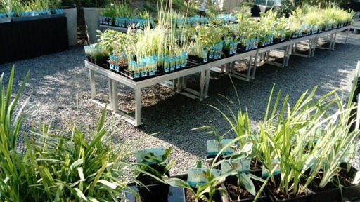 vattenväxter dammväxter, trädgårdsdamm
