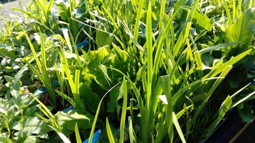 vattenväxter, dammväxter , trädgårdsdamm