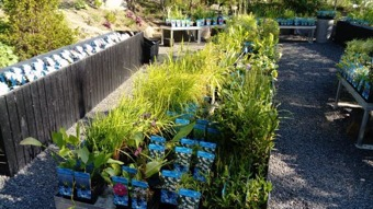 vattenväxter dammväxter näckrosor