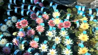 näckrosor, vattenväxter, dammväxter