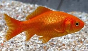 guldfisk , fisk till trädgårddamm