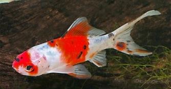 schbunking , guldfisk, dammfiskar , trädgårdsdamm